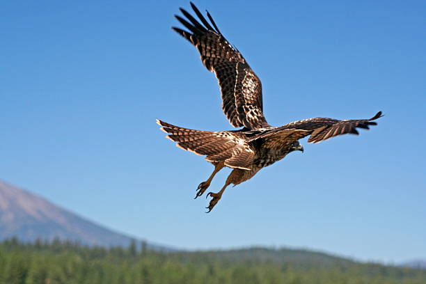 lift-off - hawk bird stock photos and pictures