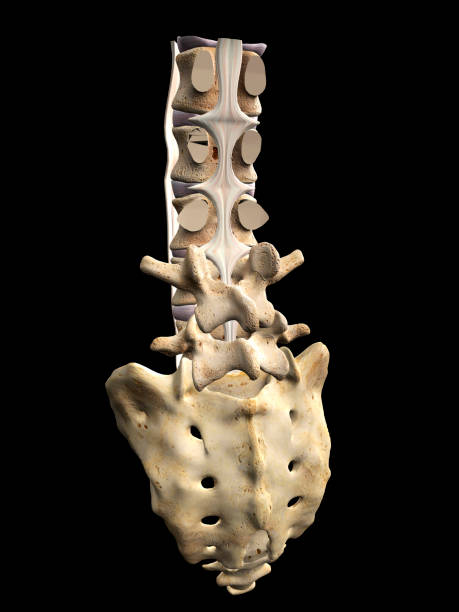 Ligaments of the Human Spine, Lumbar Vertebral Column and Sacrum on Black Background Lumbar vertebrae and sacrum skeletal bones of the human spinal column including longitudinal ligaments of the spine.  Medical illustration on a black background. sacrum stock pictures, royalty-free photos & images