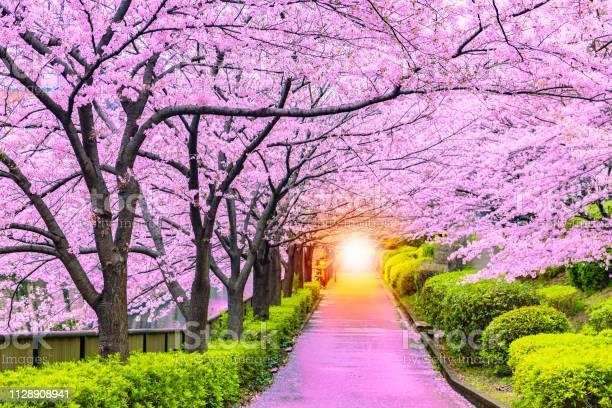 Light at the end of the cherry tree tunnel and walkway picture id1128908941?b=1&k=6&m=1128908941&s=612x612&h=fsm5kochvtaozc49hjdrbu9nvoixnhlrvjlyh0x3pri=