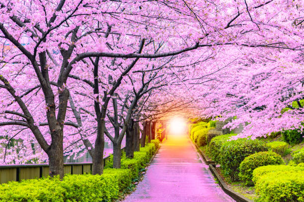 Light at the end of the cherry tree tunnel and walkway Light at the end of the cherry tree tunnel and walkway satoyama scenery stock pictures, royalty-free photos & images