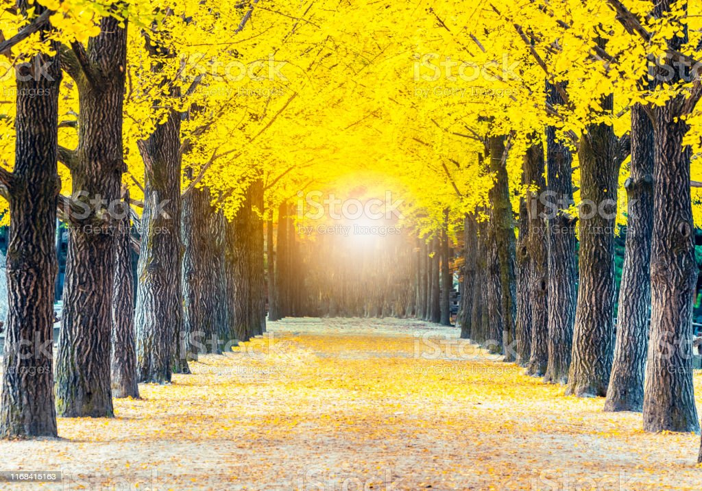 Light at the end of the tunnel of tree tunnel in autumn in Nami...