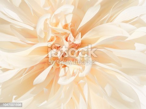 Close-up of the creamy petals of an autumn flowe