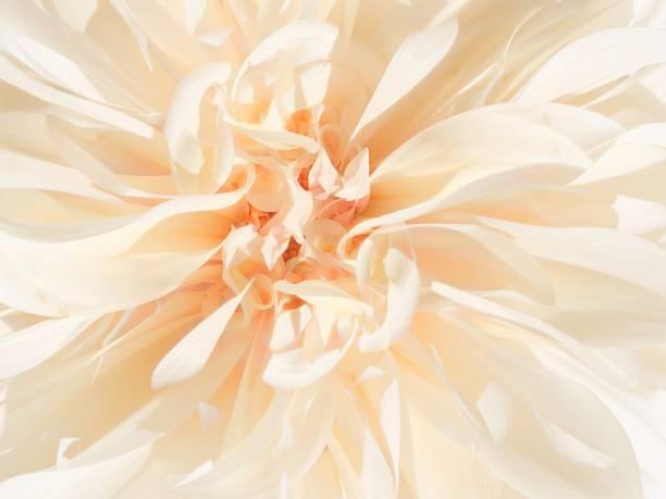 Light Autumn Flower Head stock photo