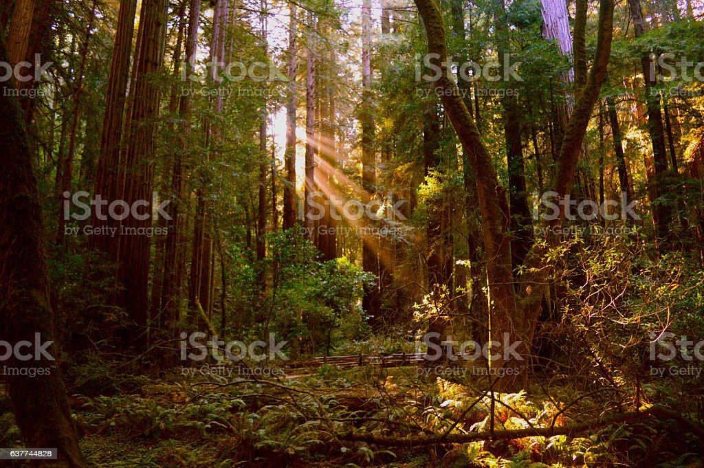 Light beam comes between giant trees of Muir Woods stock photo