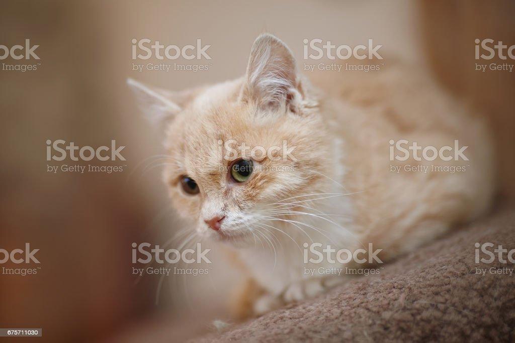 Light beige a kitten with green eyes. 免版稅 stock photo