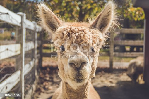 Light beige alpaca head shot in pen vintage setting