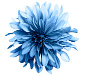 """light blue flower on a white  background isolated  with clipping path. Closeup. big shaggy  flower. for design.  Dahlia.""""n"""