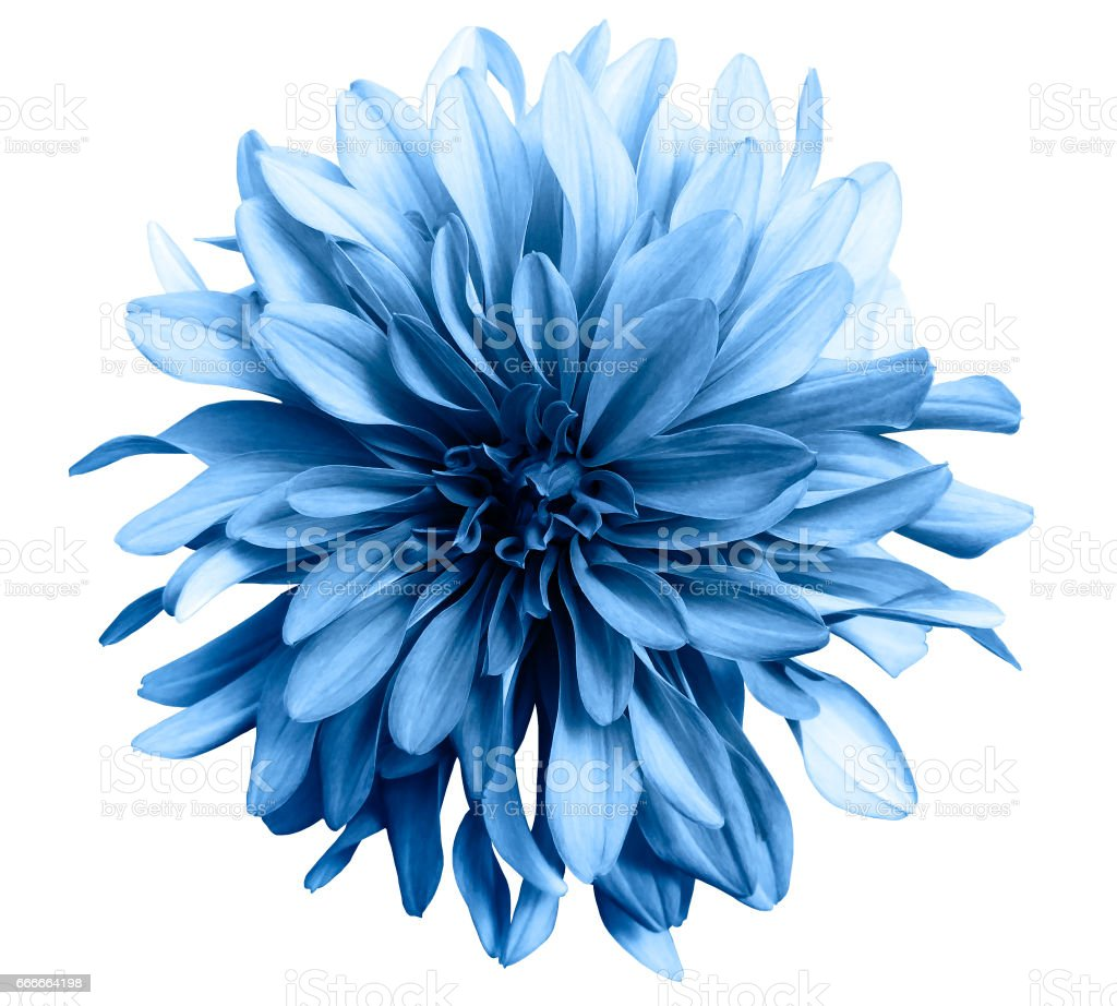 light blue flower on a white  background isolated  with clipping path. Closeup. big shaggy  flower. for design.  Dahlia.'n stock photo