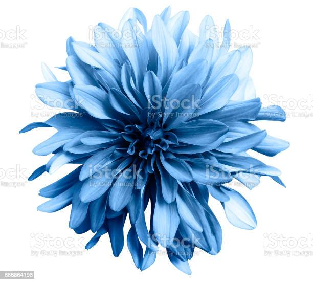 Photo of light blue flower on a white  background isolated  with clipping path. Closeup. big shaggy  flower. for design.  Dahlia.