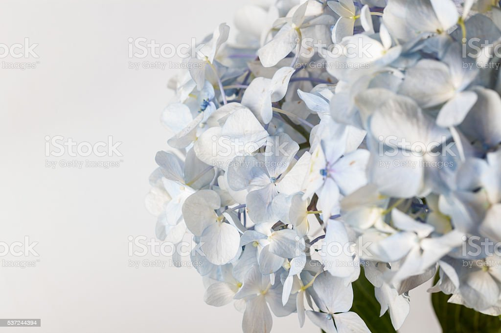 light blue Hydrangea macrophylla macro shot with white background stock photo