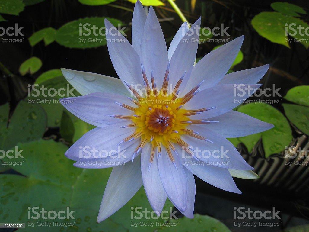 Light blue water lily flower stock photo more pictures of african light blue water lily flower royalty free stock photo izmirmasajfo