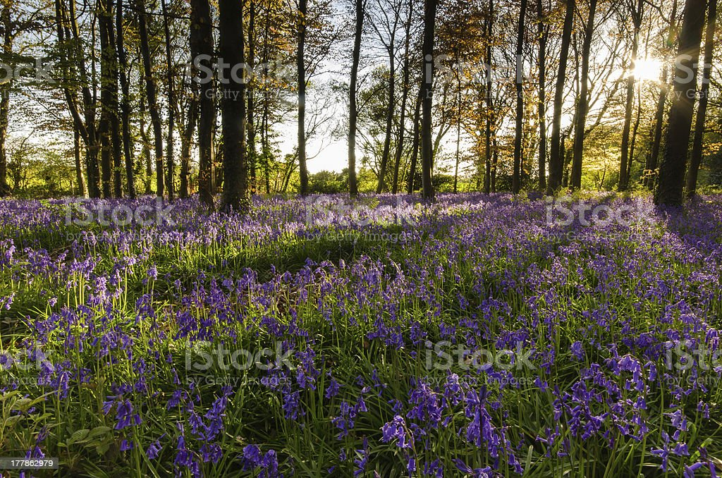 Light breaking through trees - Blue Bells Click to view more - Agricultural Field Stock Photo