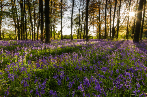 Light Breaking Through Trees Blue Bells Stock Photo - Download Image Now