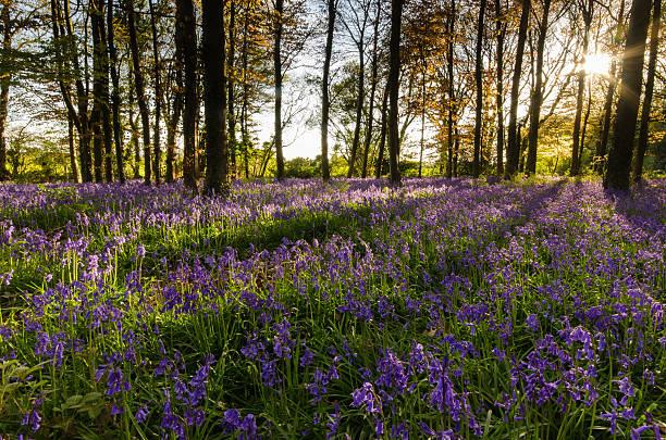 Light breaking through trees - Blue Bells stock photo