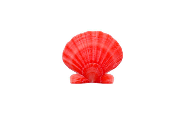 licht helder rood oranje ronde parel zeeschelp close-up op wit - pink and orange seashell background stockfoto's en -beelden