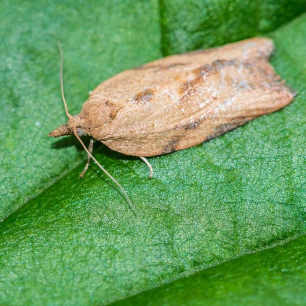 Light Brown Apple Moth stock photo