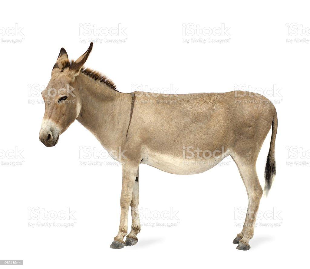 Große schöne Esel-Bilder