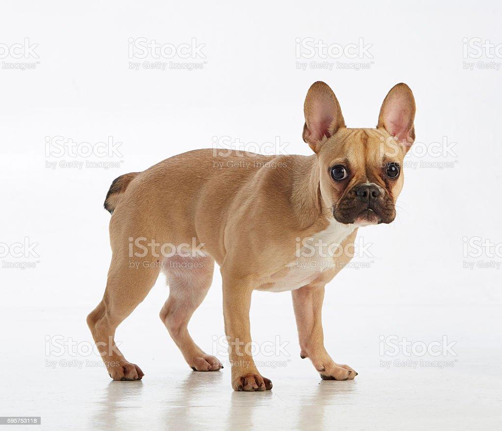 light brown french bulldog looking at the camera stock photo