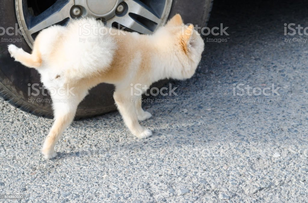 Light brown Pomeranian puppy peeing on wheel stock photo