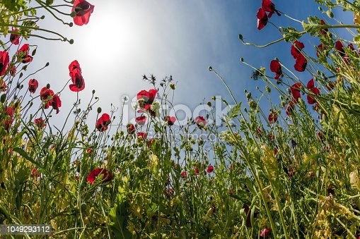 Magnificent wildflowers - red anemones. Early spring in Israel. Light clouds in the blue spring sky. Concept of ecological and rural tourism