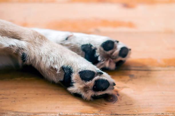 Light Colored Puppy Paw. dog feet and legs on wood Close Up of Light Colored Puppy Paw. dog feet and legs on wood. Close up image of a paw of homeless dog. skin texture animal hand stock pictures, royalty-free photos & images