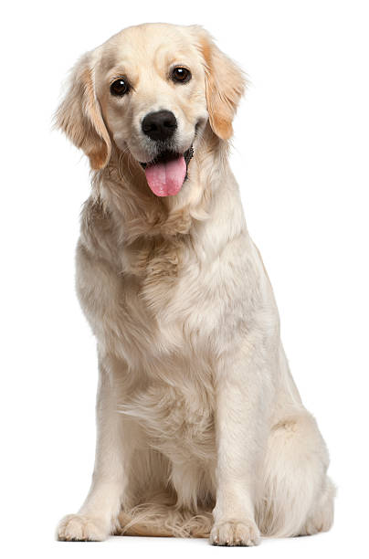 Light golden retriever on white background Golden Retriever, ten months old, sitting in front of white background. retriever stock pictures, royalty-free photos & images