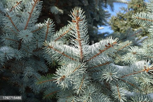 Light gray foliage of blue spruce covered with snow in December