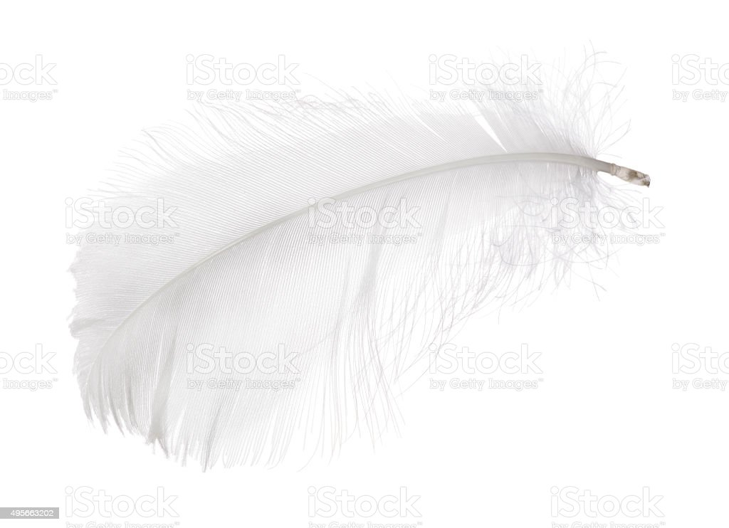 light gray small isolated feather stock photo