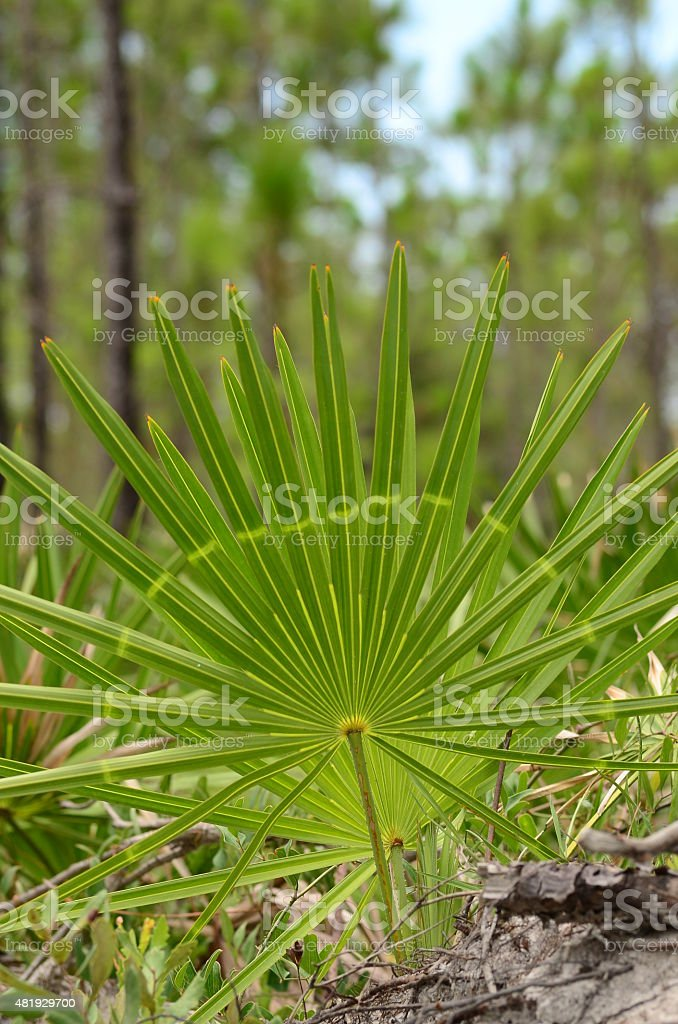 Light green band on a Saw Palmetto in a forest stock photo
