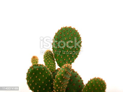 Light green bunny Opuntia cactus isolated on white background