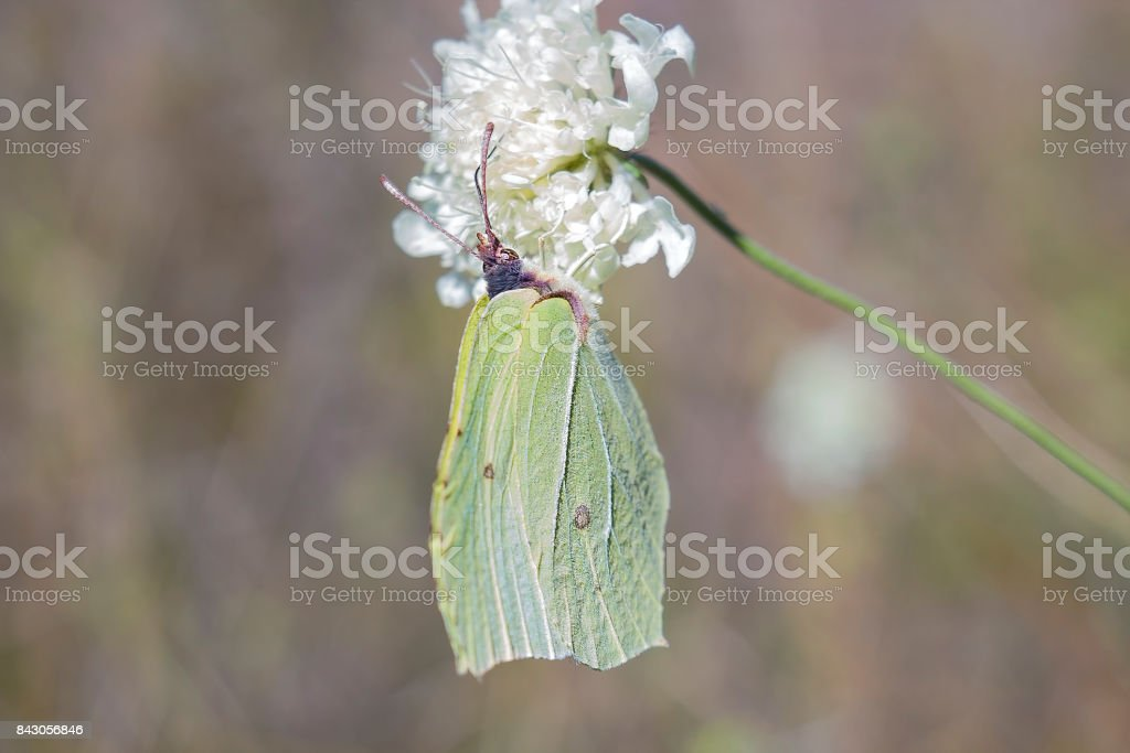 Light green butterfly Gonepteryx rhamni sitting on white flower. Butterfly Common brimstone feeding on white flower stock photo