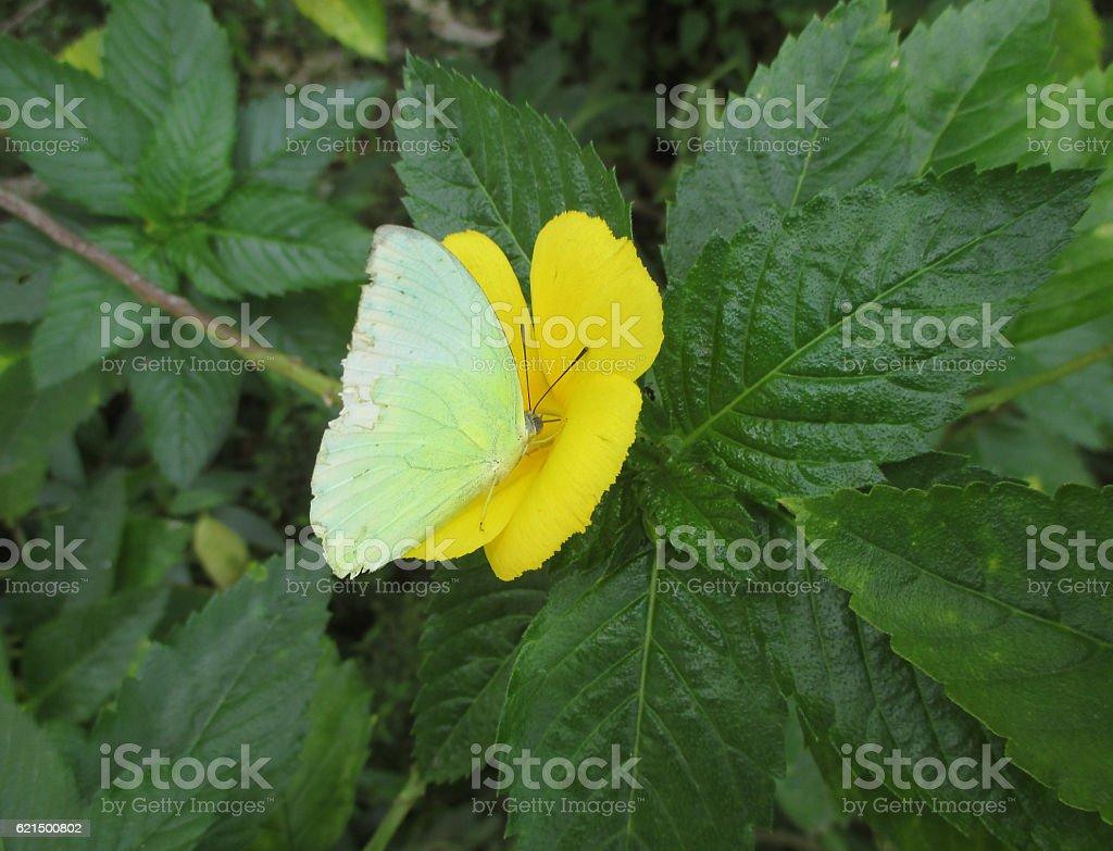 Light green color butterfly on a vivid yellow blooming flower Lizenzfreies stock-foto