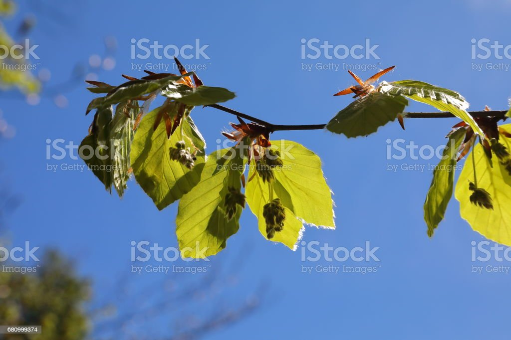 Light green colour of beech spring forest royalty-free stock photo