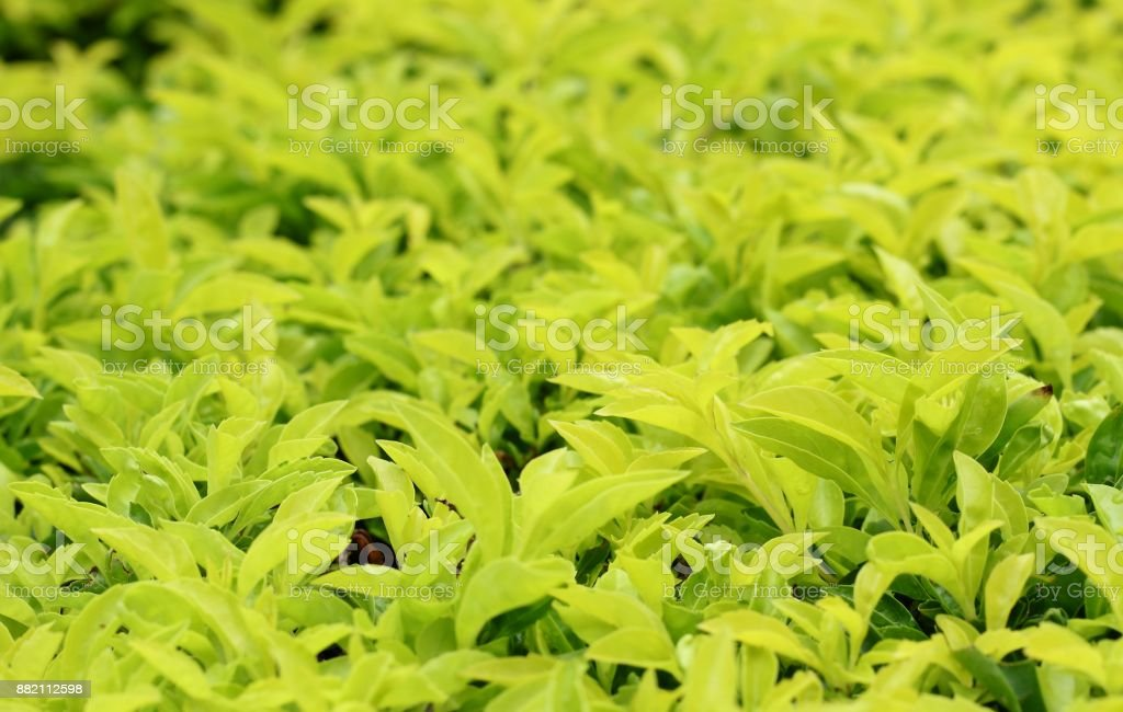 Light Green leaf background stock photo