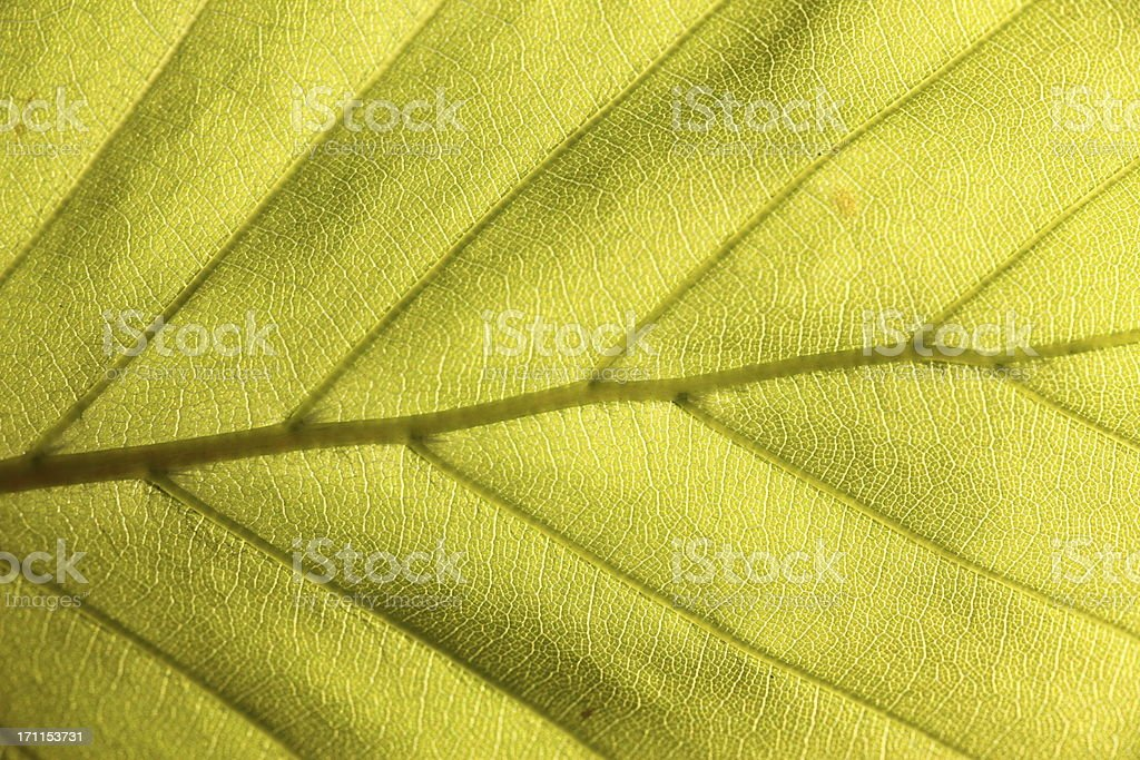 Light green leaf of beech in the spring full frame royalty-free stock photo