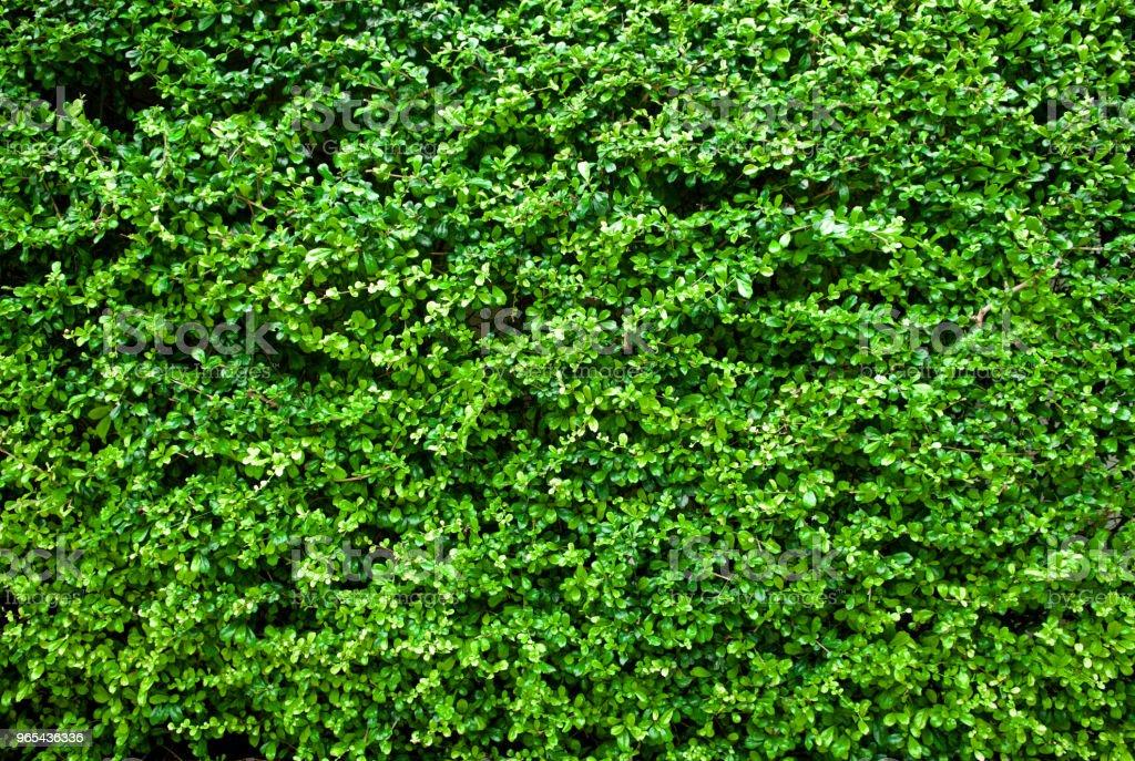 Hellgrüne Blätter Wand Hintergrund. Hautnah. - Lizenzfrei Abstrakt Stock-Foto