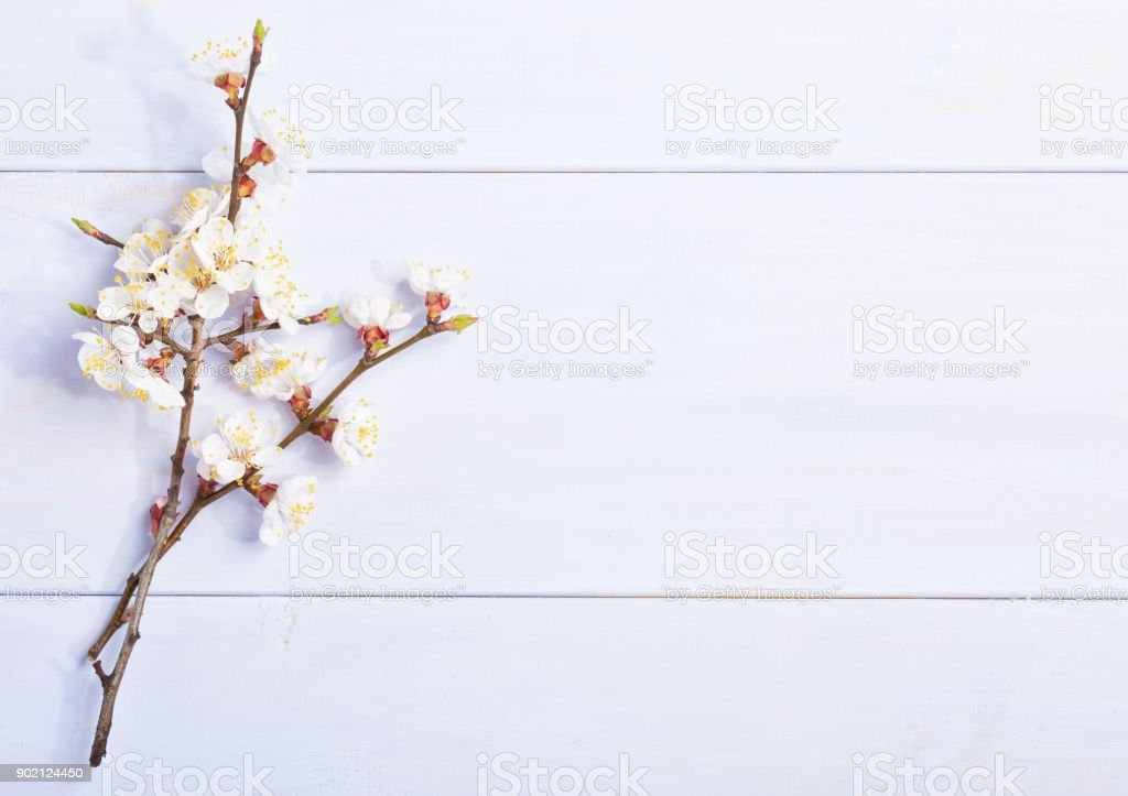 Light lilac wooden background with flowering apricot branches. stock photo
