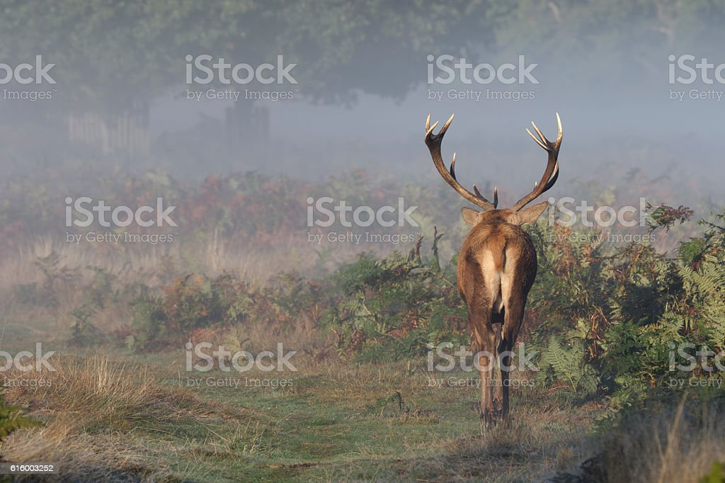 Mature red deer stag walking into misty autumn landscape stock photo
