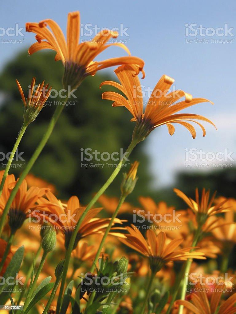 Light orange flowers royalty-free stock photo