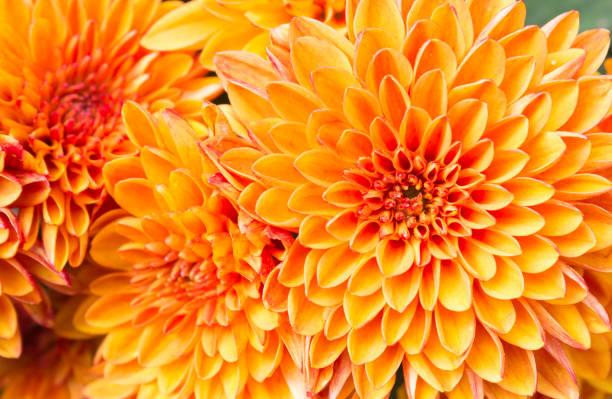 licht oranje gele moeder bloemen in de tuin rechts - chrysant stockfoto's en -beelden