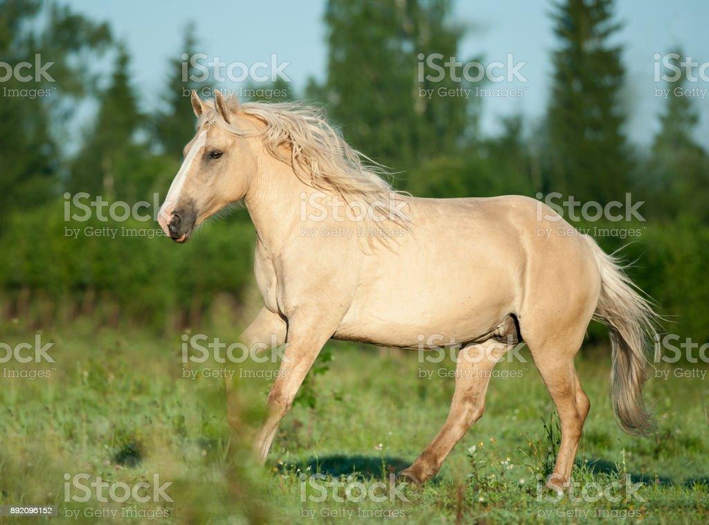 Light Palomino Draft Horse Runs Free On Sunrise Field Stock Photo Download Image Now Istock