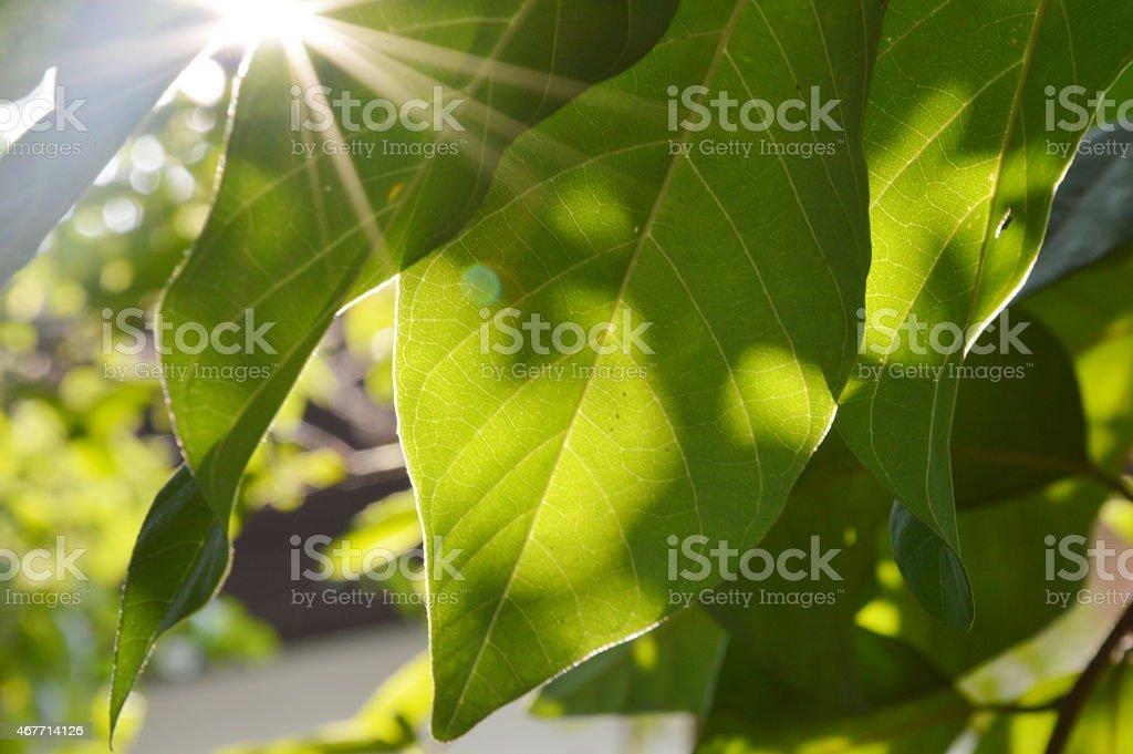 light pass through the leaf stock photo