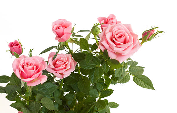 Light pink budding rose plant with full foliage stock photo