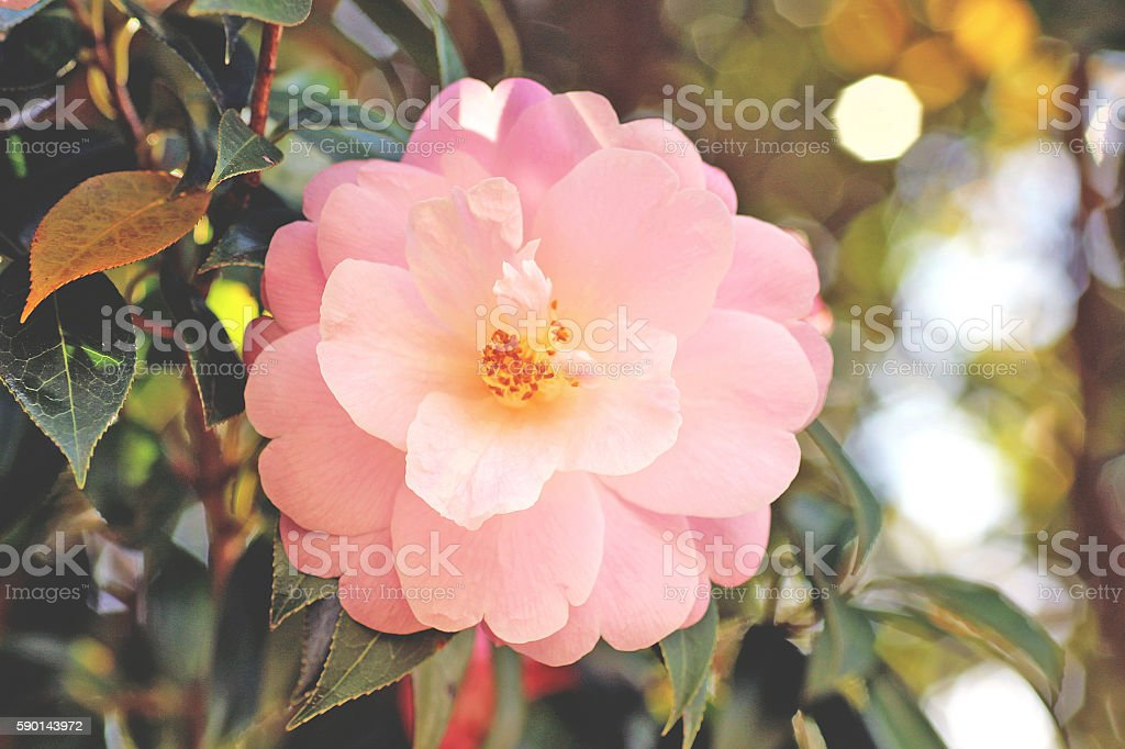 Light pink camellia flower stock photo