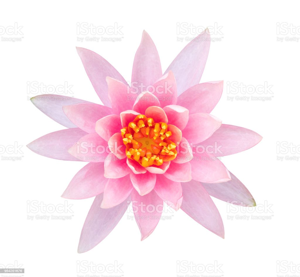 Light pink color lotus flower top view isolated on white background light pink color lotus flower top view isolated on white background clipping path included royalty izmirmasajfo