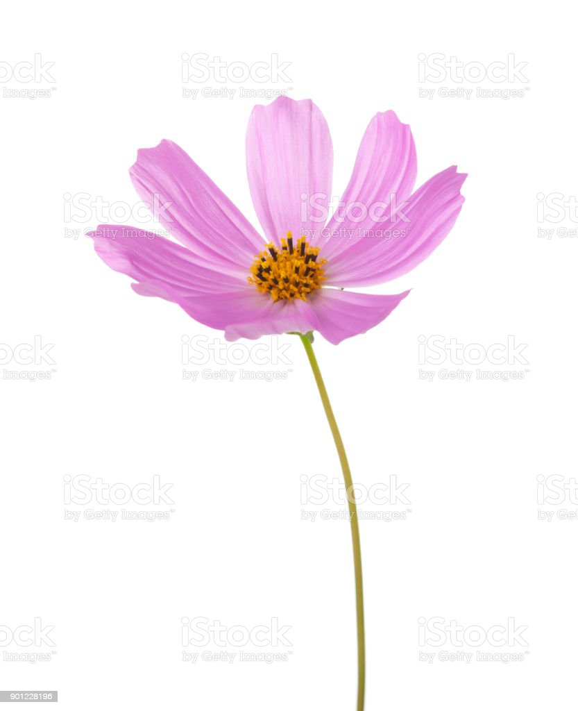Light pink Cosmos flower isolated on white background. Garden Cosmos stock photo
