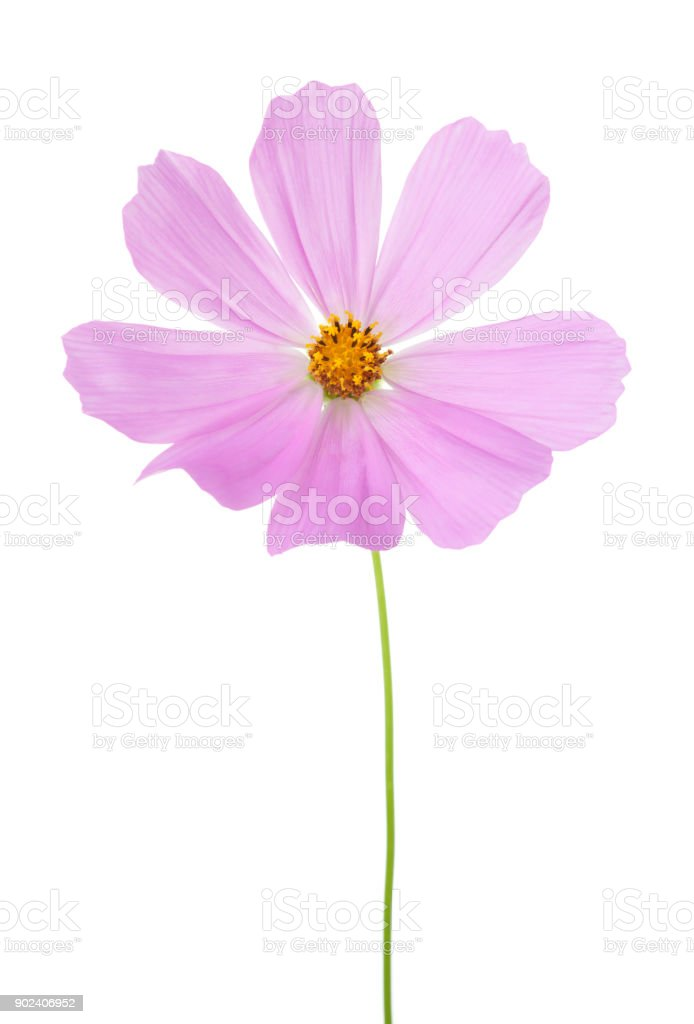 Light pink Cosmos flower  isolated on white background. Garden Cosmos. stock photo