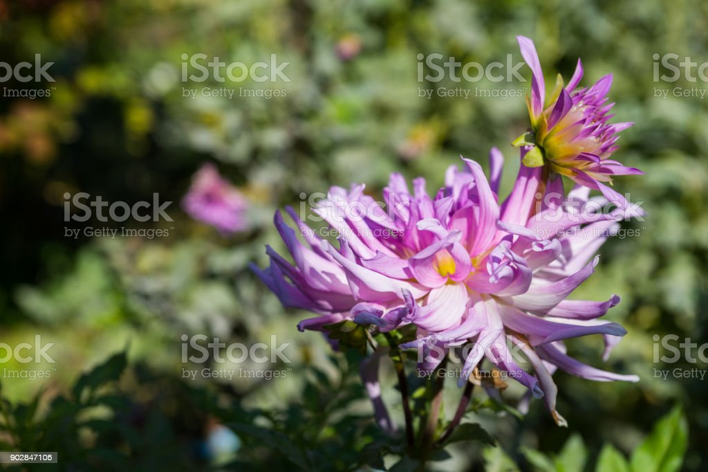 Light pink dahlia flowers against green leaves stock photo