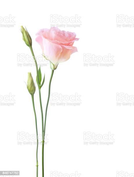 Light pink flower of eustoma isolated on white background picture id846747752?b=1&k=6&m=846747752&s=612x612&h=ct22phjzexk7utrcouxzfyqhiyjqlzchzxunlu 5vus=