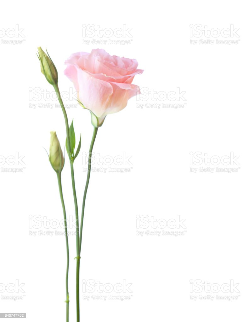 Light pink flower of  Eustoma   isolated on  white background. stock photo